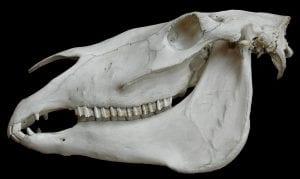 crâne cheval