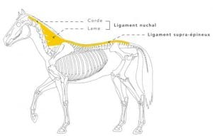 Ligament nucal cheval